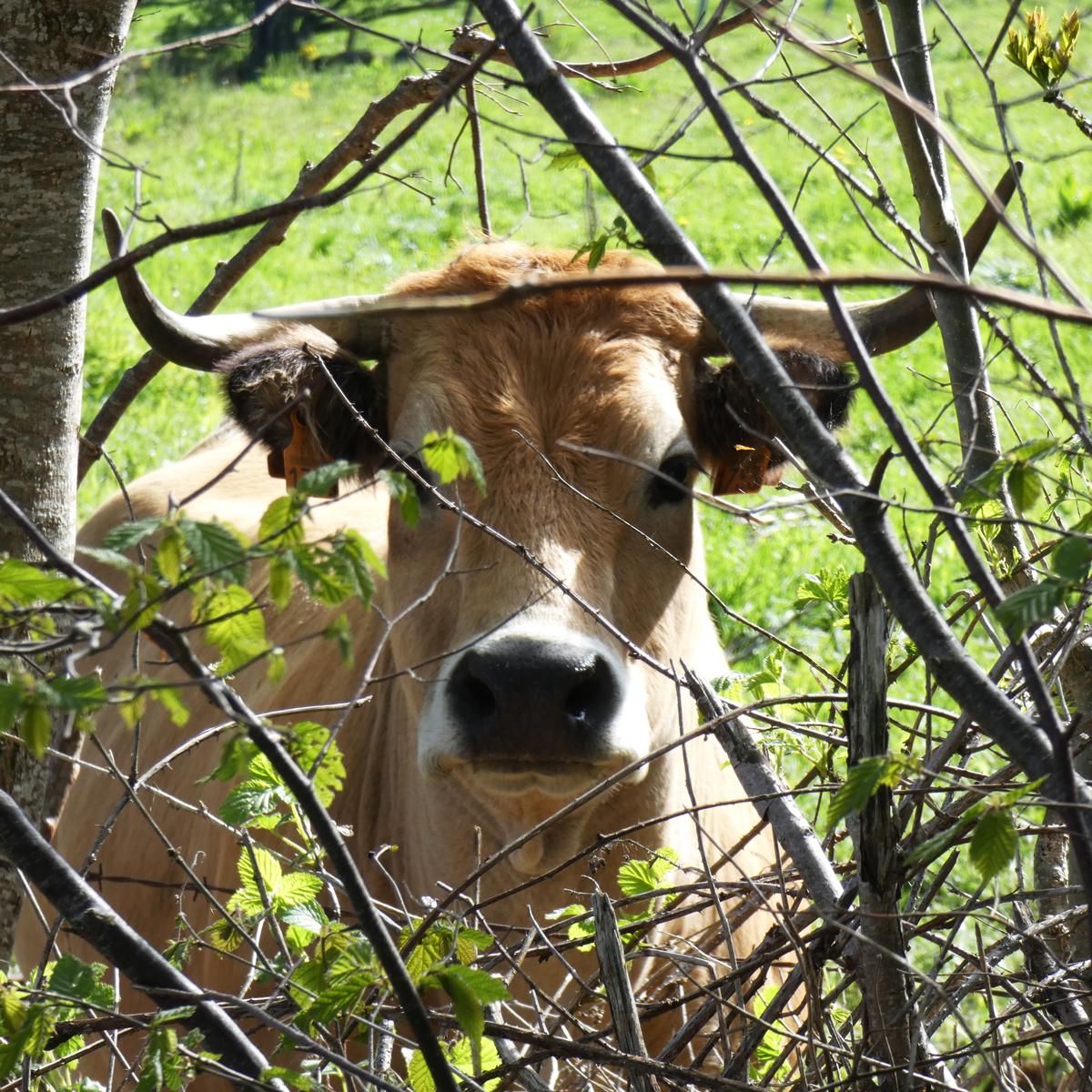Une belle vache Aubrac au détour d'un chemin